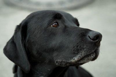 idős kutya - öregedés