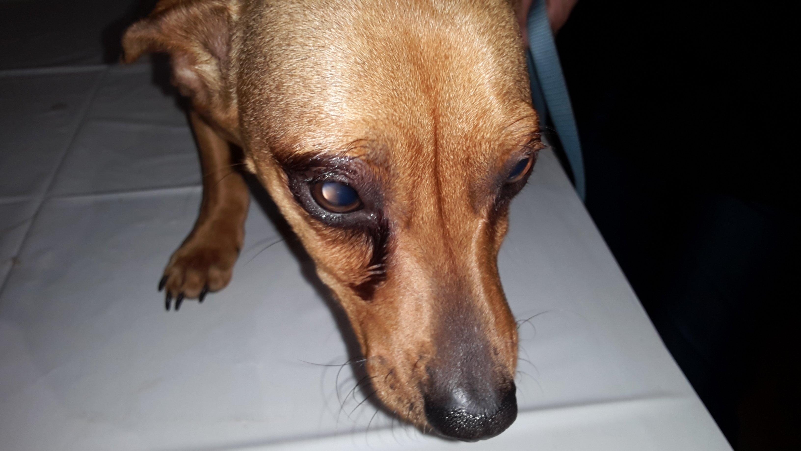 kutya allergiás bőr és kötőhártya gyulladás
