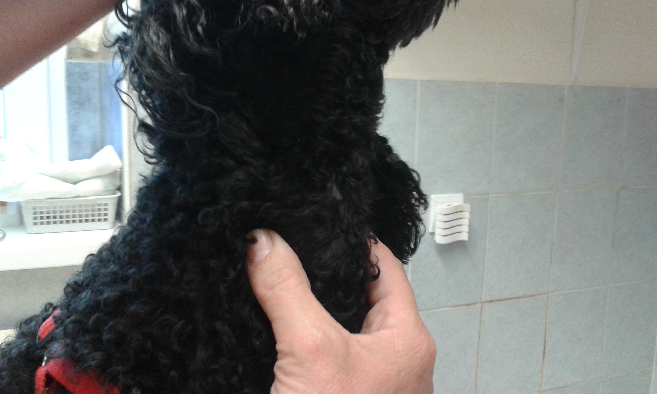Kutya nyaki daganat gyógyulása 2