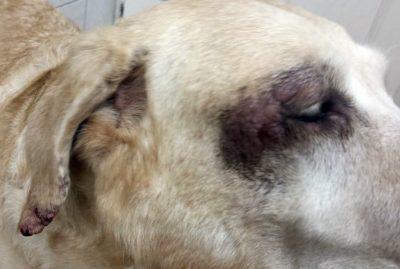 kutya bőrbetegség: súlyos dermatitis, erős pruritus