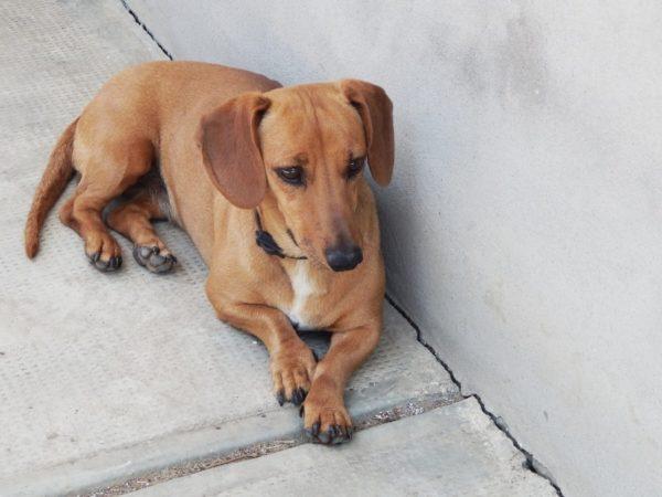 Lizi kutya tacskóbénulás