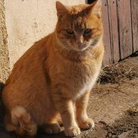 Leukózisos cica